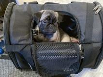 Betty visar att hon också vill flytta hem genom att själv krypa upp i transportväskan som matte ställt hit i väntan på lördagen